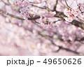 河津桜 桜 春の写真 49650626