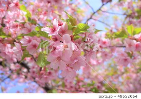 美しく咲くピンク色の桜、満開、春の日本、群馬県 49652064