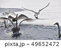 白鳥 鳥 冬の写真 49652472