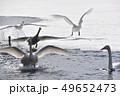 白鳥 鳥 冬の写真 49652473