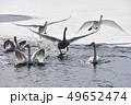 白鳥 鳥 冬の写真 49652474