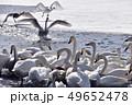 白鳥 鳥 冬の写真 49652478