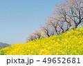 桜 春 青空の写真 49652681