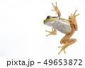 カエル アマガエル 背景白 49653872
