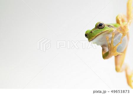 カエル アマガエル 背景白 49653873
