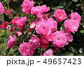アンジェラ 薔薇 植物の写真 49657423