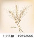 むぎ ムギ 小麦のイラスト 49658000