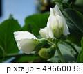 サヤエンドウ 野菜 花の写真 49660036