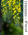 Beautiful of cassia yellow flower tree 49660642