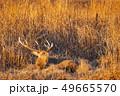 エゾシカ シカ 動物の写真 49665570