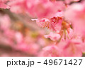 河津桜 桜 春の写真 49671427