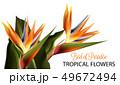 熱帯 水彩画 フラワーのイラスト 49672494