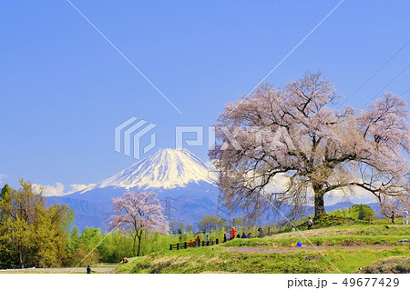 わに塚の桜と富士山 49677429