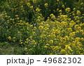 菜の花 菜花 春の写真 49682302