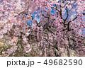長野県上田市 上田城と桜 49682590