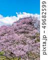 長野県上田市 上田城と桜 49682599