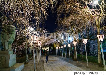 三嶋大社 夜桜 Mishima Taisha Night cherry blossom 49690030