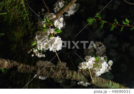 三嶋大社 夜桜 Mishima Taisha Night cherry blossom 49690031