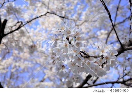 美しく咲く白い桜の花、満開、春の日本、群馬県 49690400