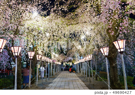 三嶋大社 夜桜 Mishima Taisha Night cherry blossom 49690427