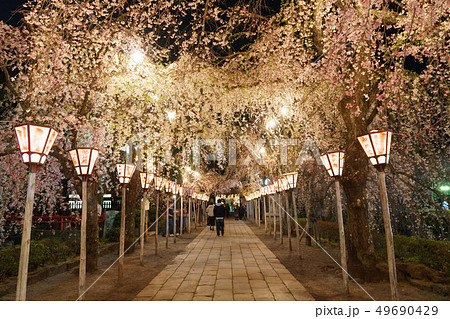 三嶋大社 夜桜 Mishima Taisha Night cherry blossom 49690429