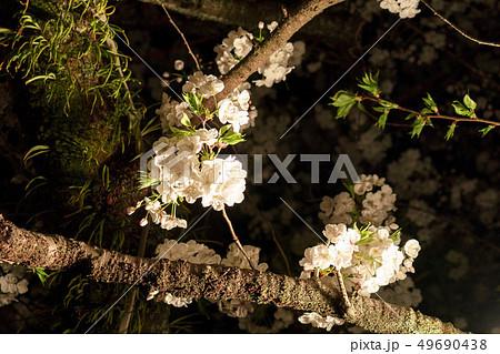 三嶋大社 夜桜 Mishima Taisha Night cherry blossom 49690438