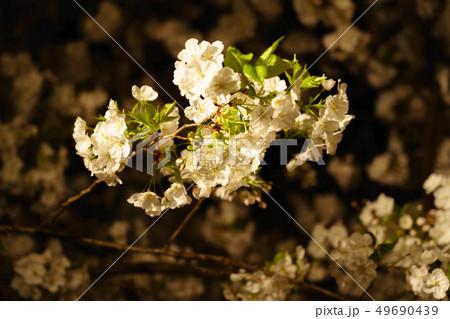 三嶋大社 夜桜 Mishima Taisha Night cherry blossom 49690439