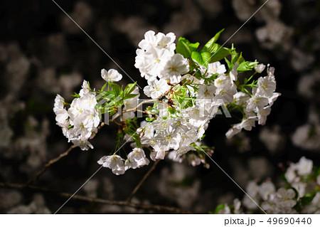 三嶋大社 夜桜 Mishima Taisha Night cherry blossom 49690440