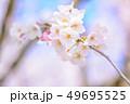 桜 アップ ソメイヨシノの写真 49695525