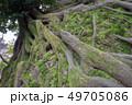 大樹の根と苔 49705086