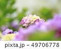 アジサイ 花 ピンクの写真 49706778