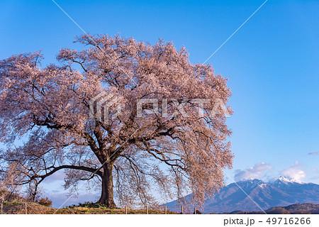 わに塚の桜と八ヶ岳 49716266