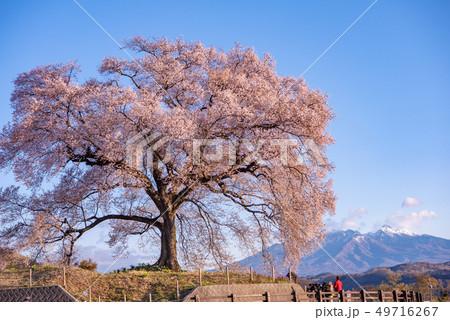 わに塚の桜と八ヶ岳 49716267