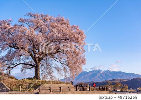 わに塚の桜と八ヶ岳 49716268