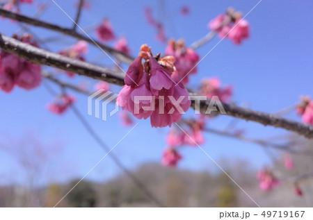美しく咲くピンク色の桜、梅の花、満開、春の日本、群馬県高崎市 49719167