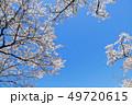 桜 花 春の写真 49720615