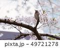 桜 サクラ 花の写真 49721278