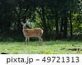 動物 野生動物 エゾシカの写真 49721313