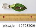ナミアゲハ4齢3日目(体長約20mm) 49725929