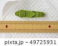 ナミアゲハ終齢3日目(体長約34mm) 49725931
