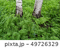 Beautiful green fern plantation in birch forest 49726329