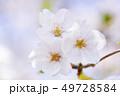桜 さくら 49728584