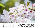 桜 さくら 49728589