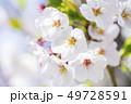 桜 さくら 49728591