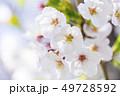 桜 さくら 49728592