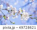 桜 さくら 49728621