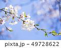 桜 さくら 49728622