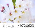 桜 さくら 49728623