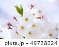 桜 さくら 49728624