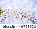 桜 さくら 49728628